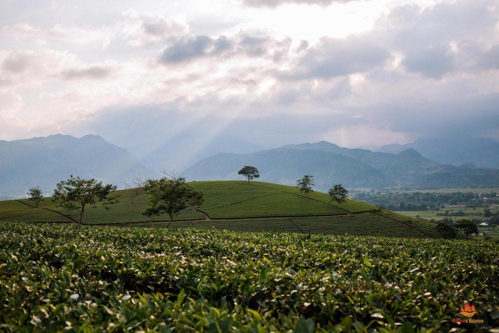 Champs de thé à Nghia Lo, Vietnam