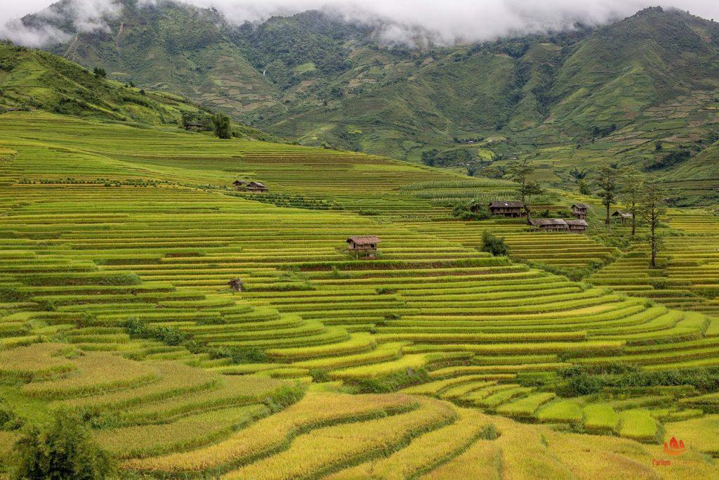 Rizières de Mu Cang Chai juste avant la récolte, Vietnam