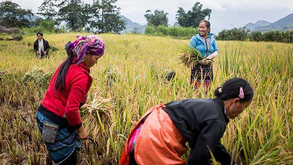 Récolte du riz à Sapa, Vietnam