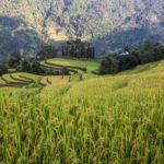Rizières prêtes à être récoltées dans le district de Hoang Su Phi, Ha Giang, Vietnam