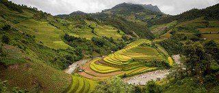 Rizières en terrasse de Mu Cang Chai pendant la récolte du riz au Vietnam