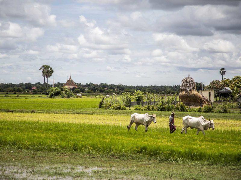 Homme et ses vaches marchant dans la campagne cambodgienne luxuriante